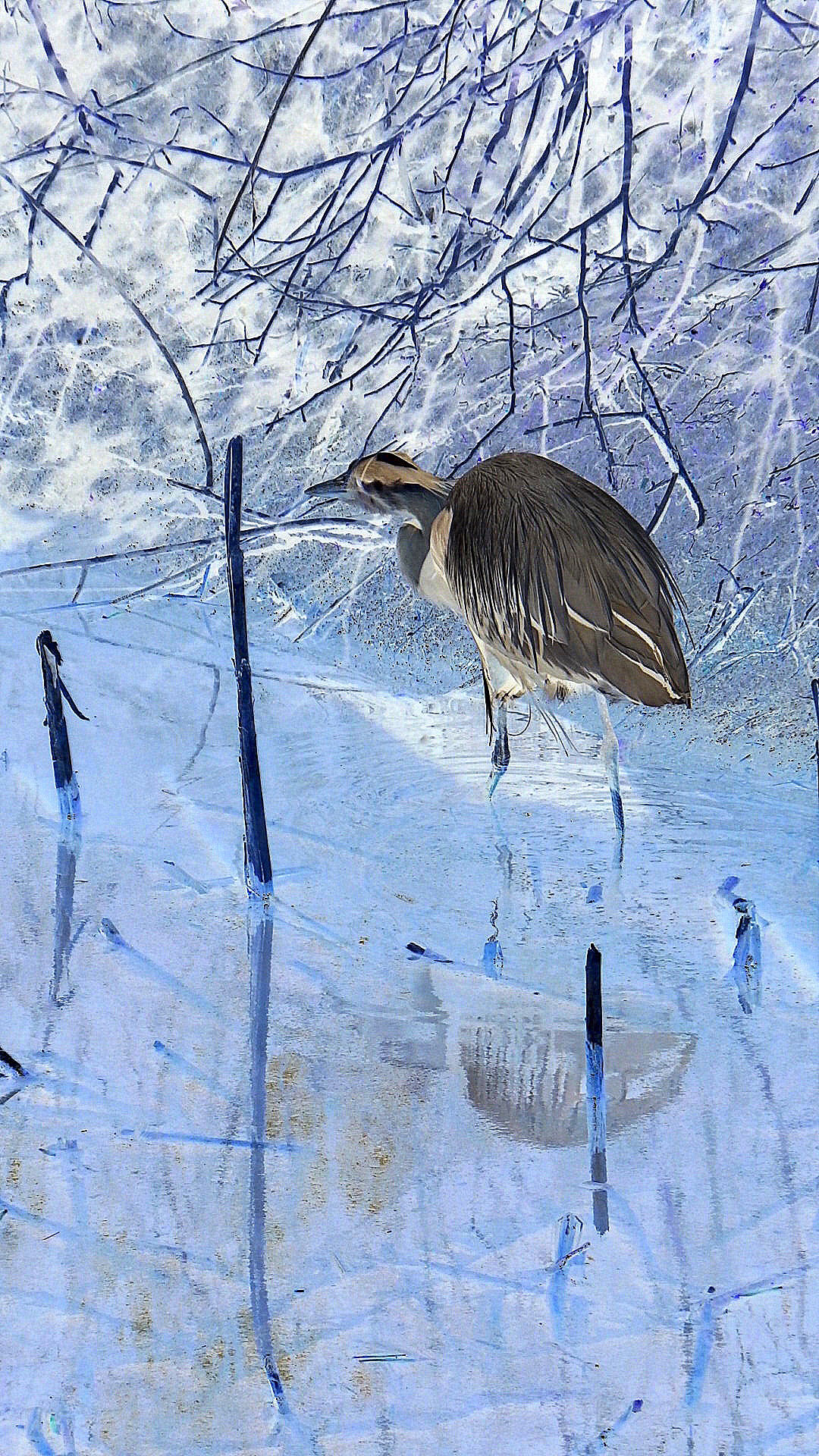 a photo of a heron in ice by Carole MacRury