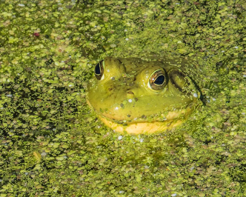 a photo of a frog in a pond by Kim Sosin