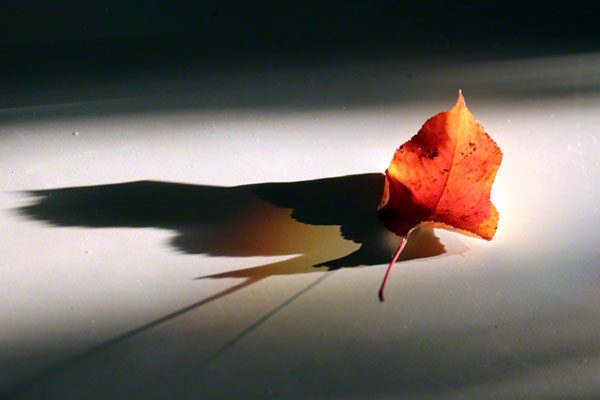 a strongly backlit photo of a red leaf on a white background by Sylvia Freeman